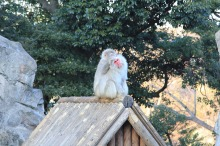 I used to have posters of these guys in my room as a kid, they usually live in the snow and hotsprings of Japan